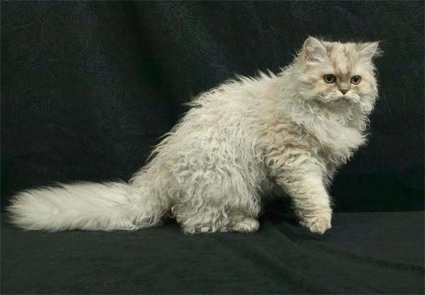 Кошка Богемский рекс