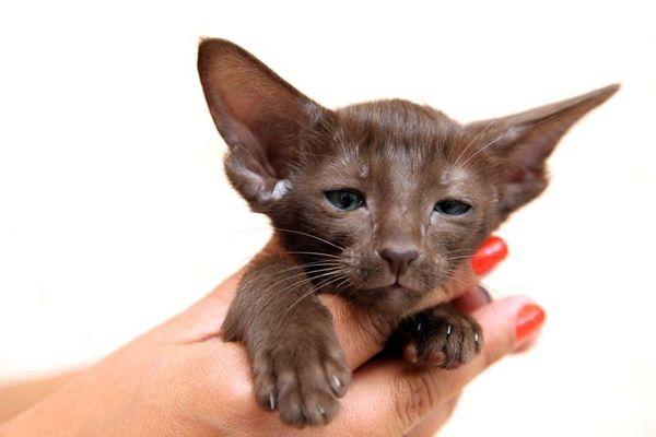 Котенок восточной кошки
