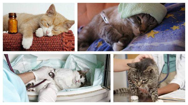 При проявлении заболеваний покажите кошку ветеринару