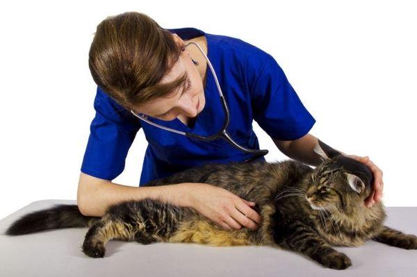 При патологии гепатобилиарной системы кота - обратитесь к ветеринару