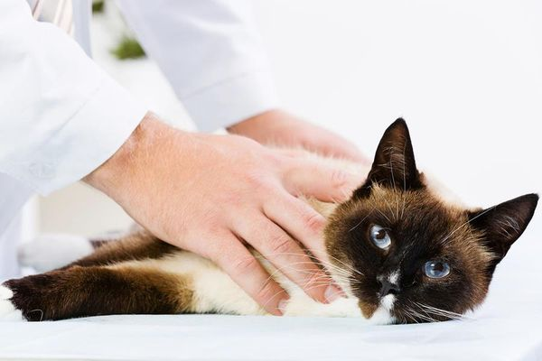 Симптомы и лечение почечной недостаточности у кошек