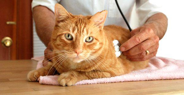 При болезнях почек кошки могут плохо есть