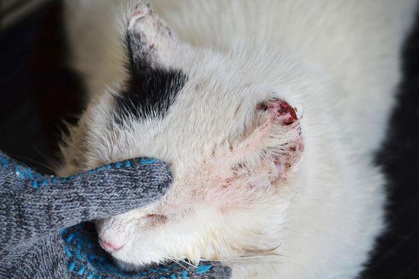 Плоскоклеточный рак челюсти у кошек сколько живут. Опухоль нижней челюсти у кошки: причины и лечение