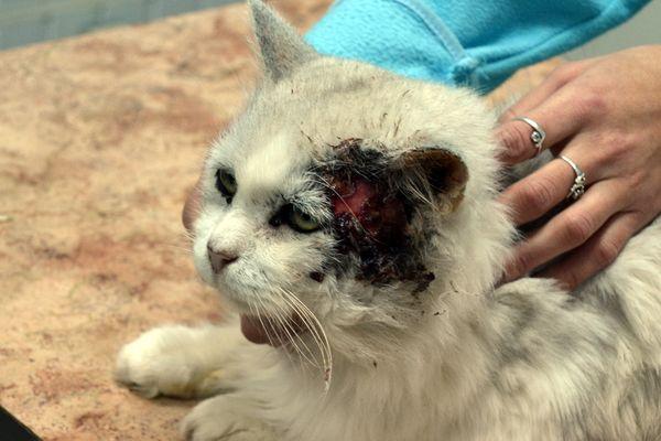 Плоскоклеточная разновидность рака у котов