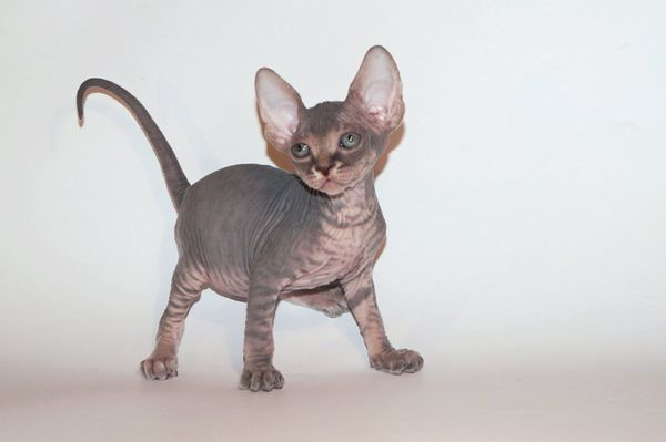 Как назвать сфинкса мальчика и девочку: подходящие имена для кошек