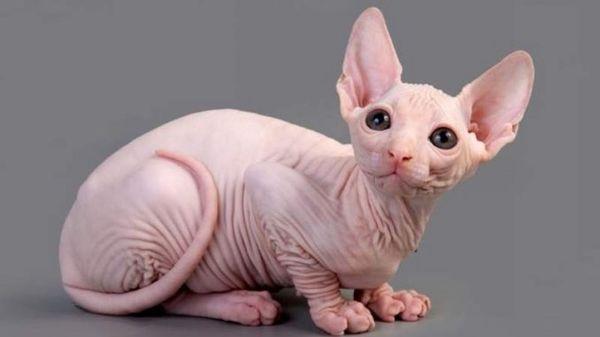 Котенок породы сфинкс