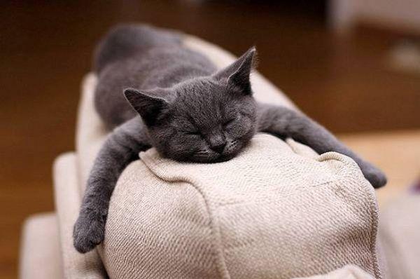 Котенок породы шартрез