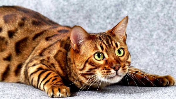 Окрасом тойгеры напоминают тигров