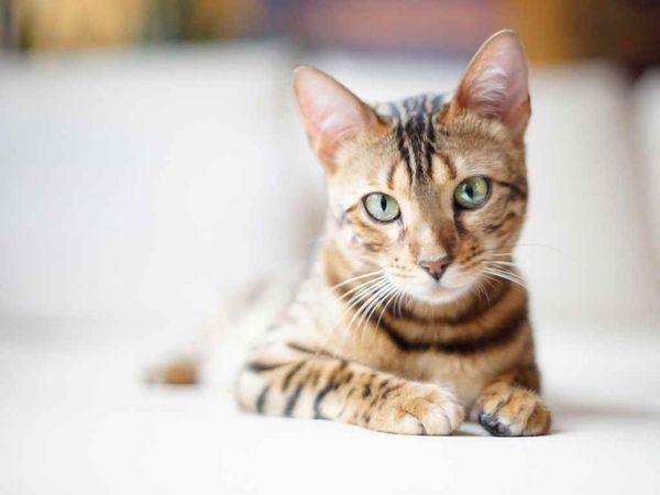 Кошка может перестать ходить в туалет из-за неправильного питания