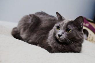 Описание внешности и характера кошки породы нибелунг