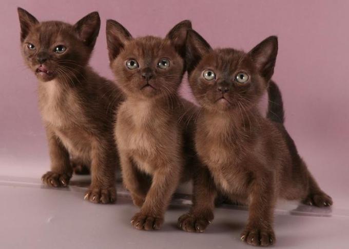 Дешевле всего (10–15 тысяч рублей) просят за котят пэт-класса