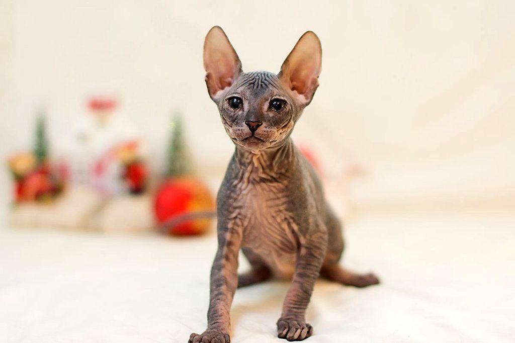 каких кошка сфинкс велюровый фото обратной