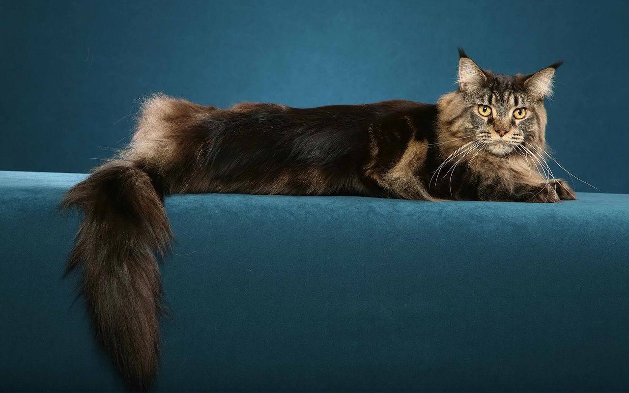 maine coon1