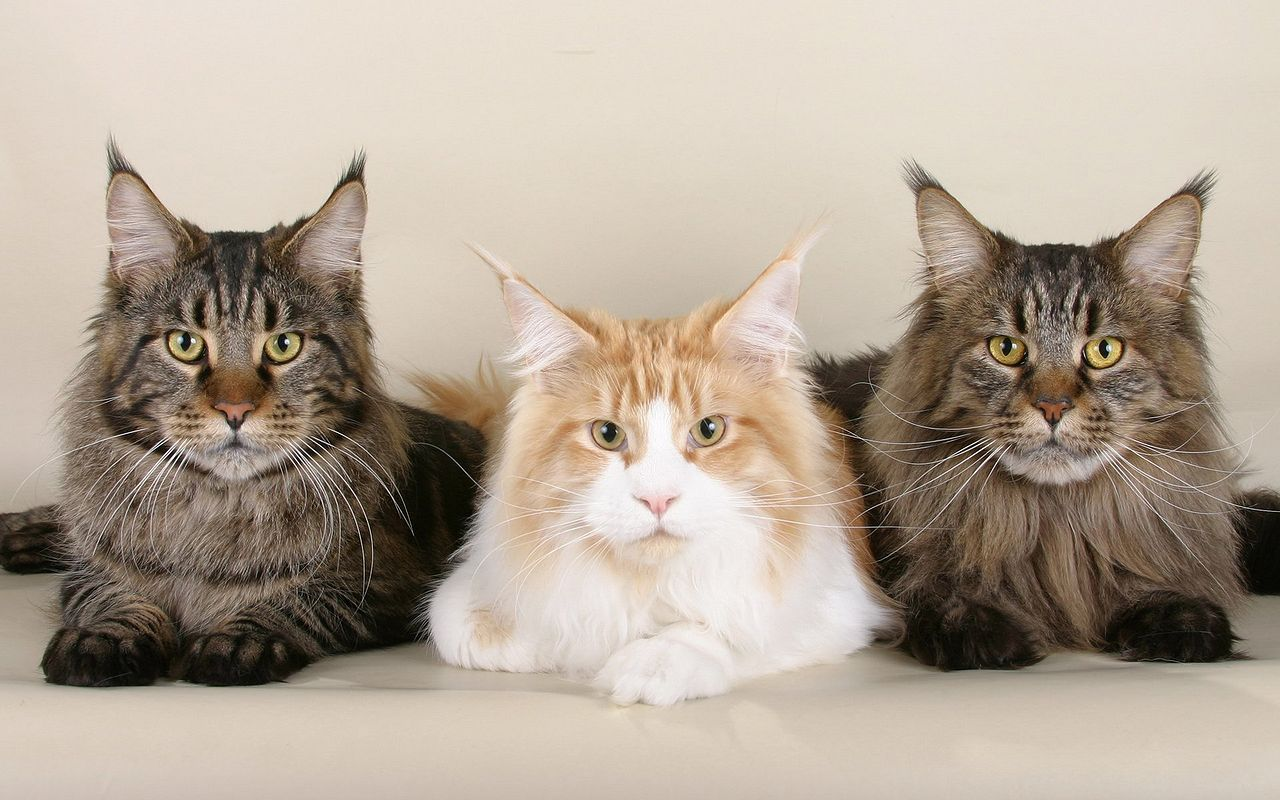 maine coon2