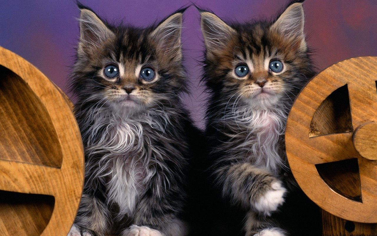 maine coon23