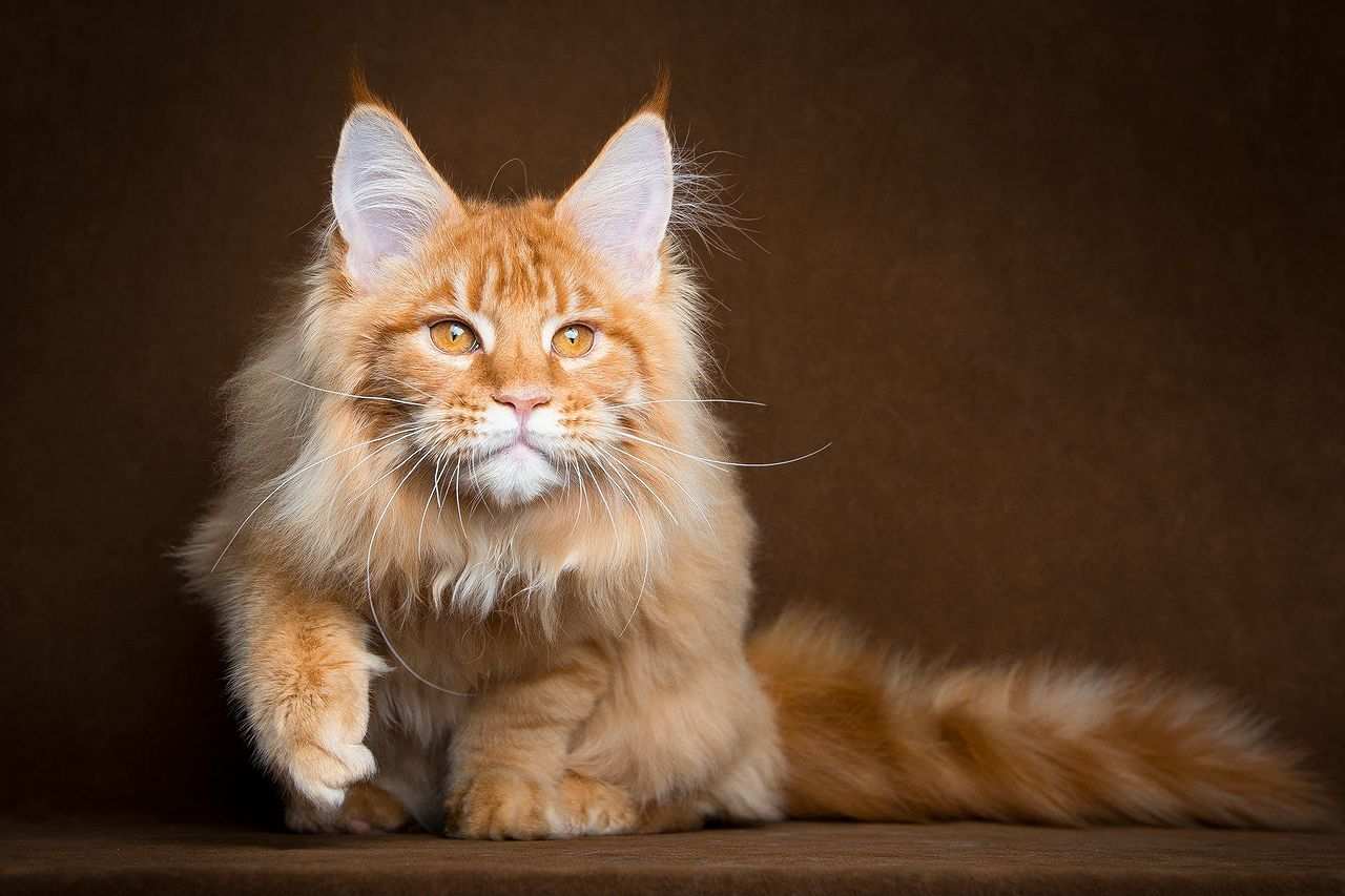 maine coon31