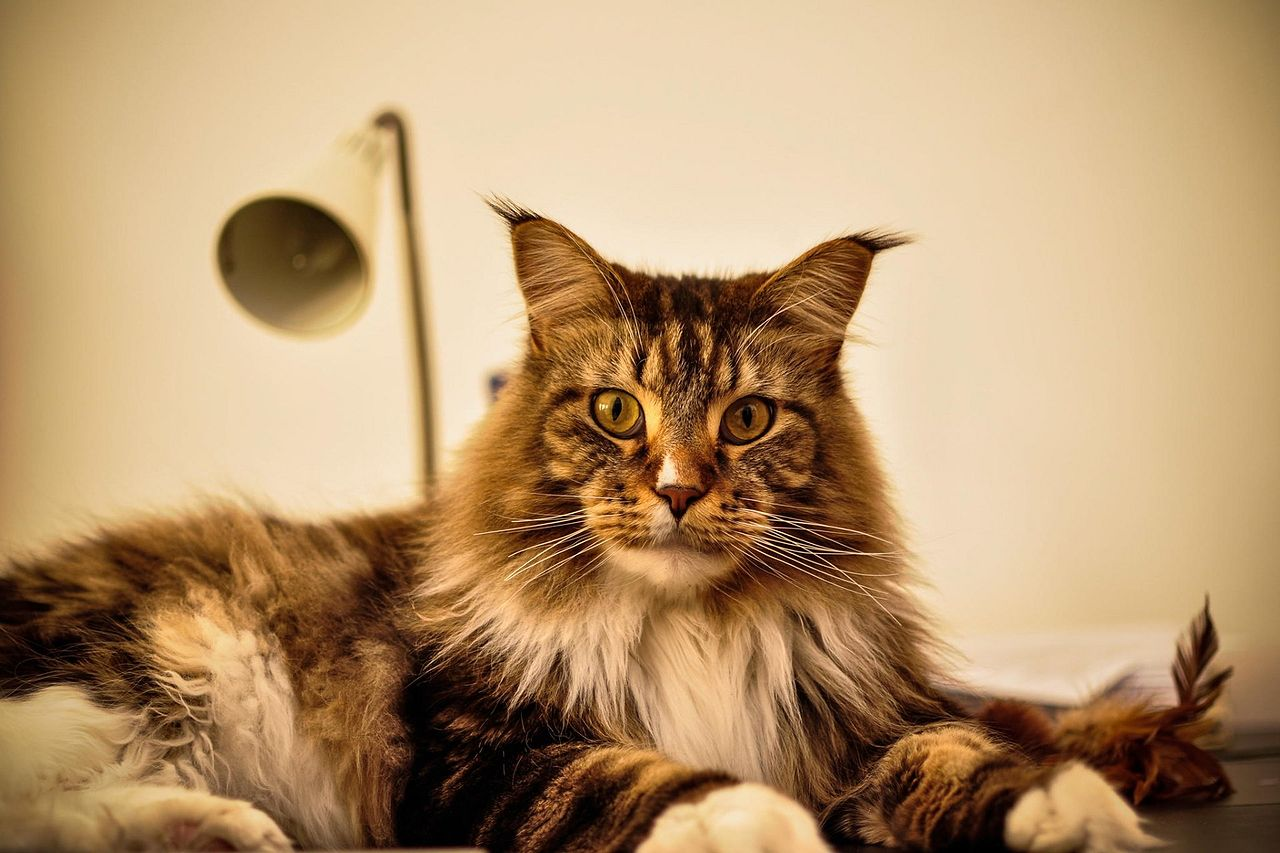 maine coon32