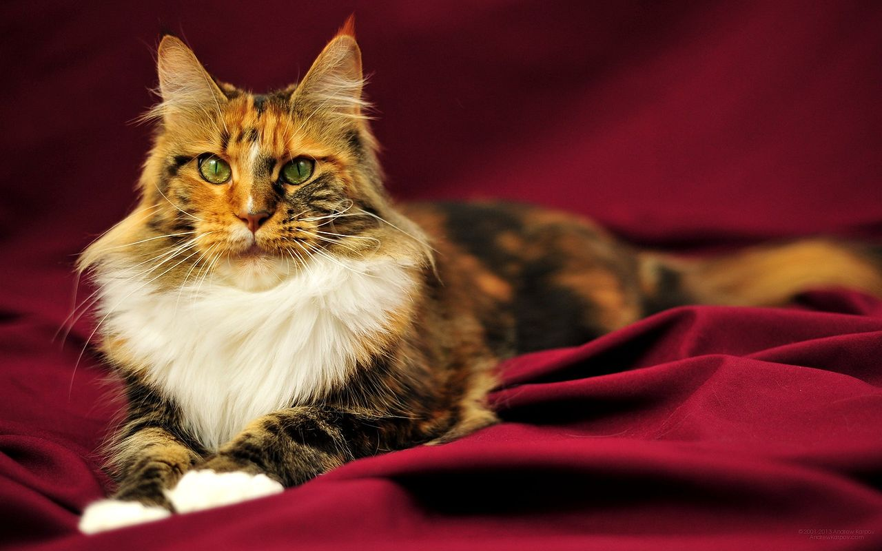 maine coon6