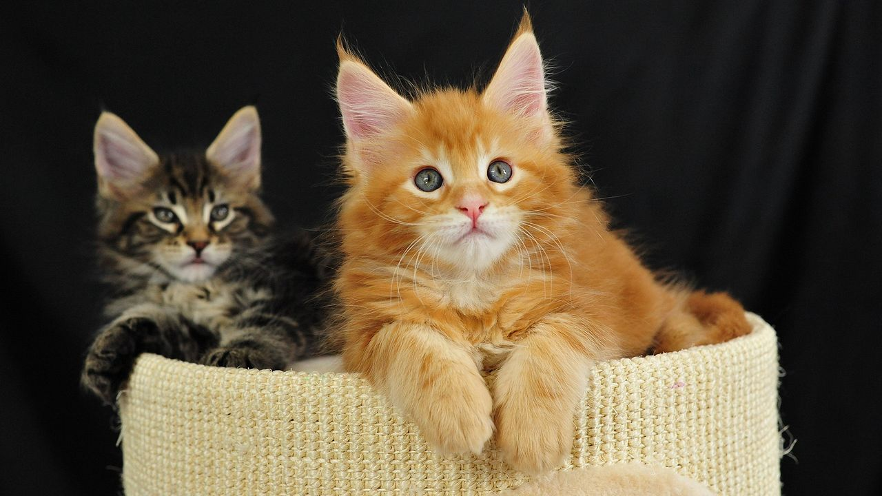 maine coon8