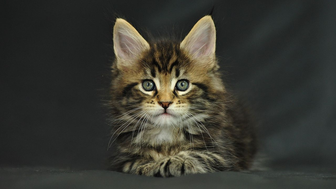 maine coon9
